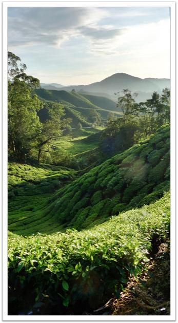 Tea Plantations at Cameron Highlands, Malaysia   MoniPol